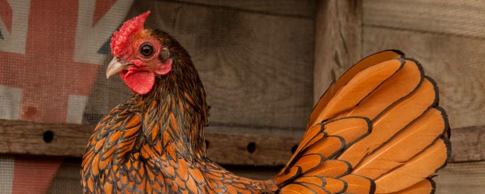Ein echter Zwerg – das Sebright-Huhn