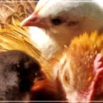 Bilder aus dem Hühnergarten Mai 2021